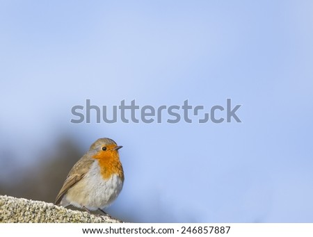 Robin Red Breast spotted in pond in Wicklow, Ireland - stock photo