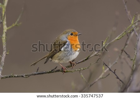 Robin, redbreast, Erithacus rubecula, perched on a twig - stock photo