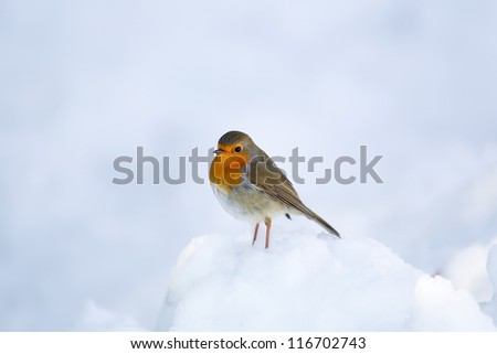 Robin Redbreast in the snow - stock photo