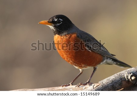 Robin resting on a tree limb. - stock photo