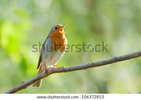 robin singing in spring, songbird, Erithacus rubecula, European Robin - stock photo