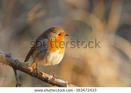 robin sits on a branch at sunrise in golden sunshine - stock photo