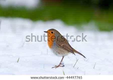 Robin standing in snow with grass in background and blades poking through - stock photo