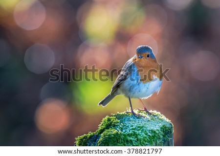 Robin standing on an ice covered mossy post with bright circular bokeh background. Brecon Beacons National Park, February - stock photo