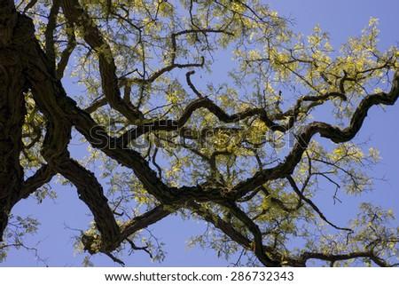 Robinia pseudoacacia, commonly known as the black locust, or false acacia - stock photo