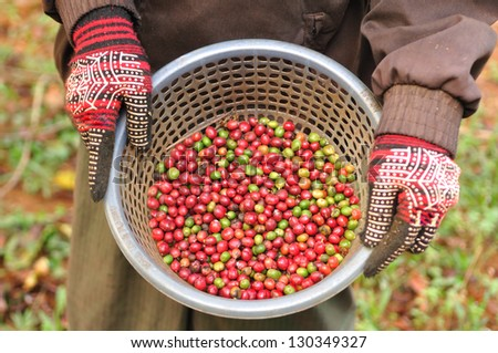 robusta berries in basket - stock photo