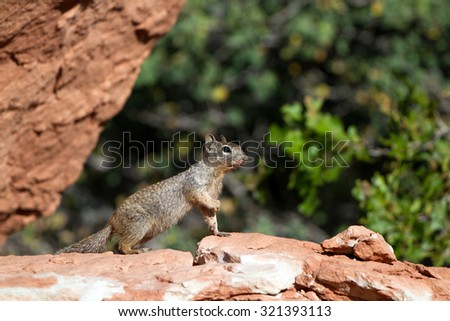 Rock Squirrel strikes a pose in Zion National Park in Utah - stock photo