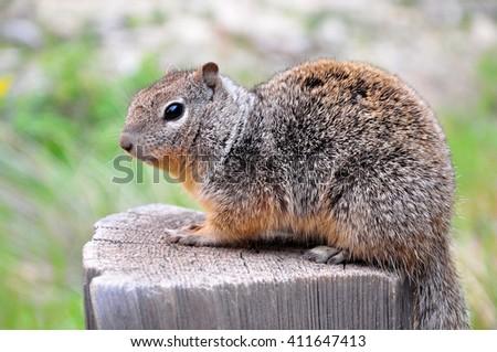 Rock Squirrel, Zion National Park, Utah, USA - stock photo