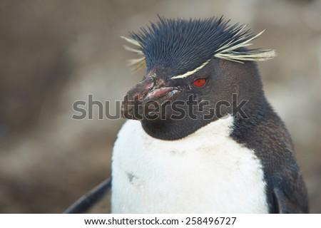 Rockhopper Penguin (Eudyptes chrysocome) on the cliffs of Bleaker Island in the Falkland Islands - stock photo