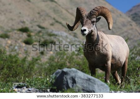 Rocky Mountain Big Horn Ram Glacier National Park - stock photo
