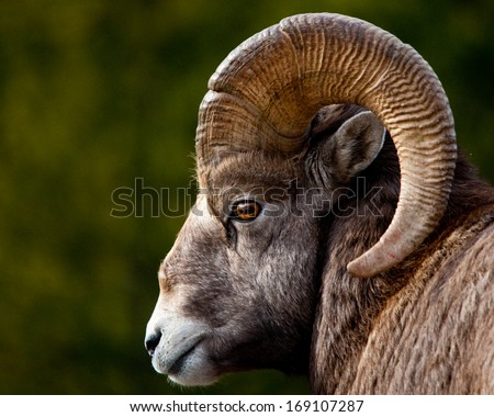 Rocky Mountain BigHorn Sheep, close up of head and horns - stock photo