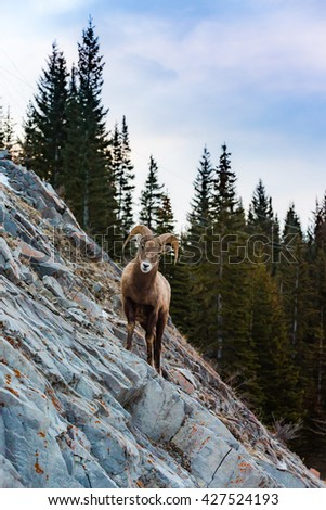 Rocky Mountain Bighorn Sheep on a cliffs edge in the mountains of Kananaskis Country Alberta Canada - stock photo