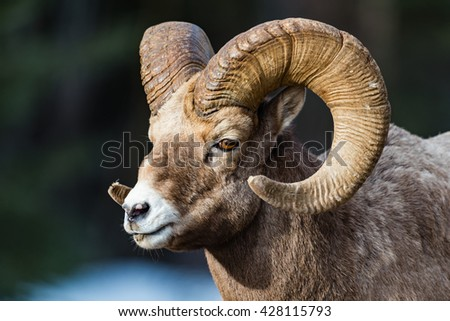 Rocky Mountain Bighorn Sheep on a mountain roadway in the early springtime - stock photo