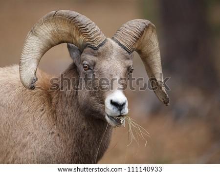 Rocky Mountain Bighorn Sheep ram, eating grass in the Black Hills of South Dakota, near Rapid City and Custer State Park; prairie wildlife - stock photo