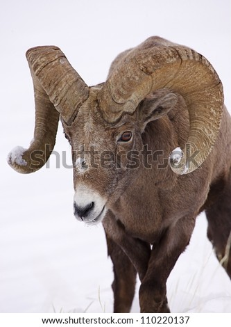 Rocky Mountain Bighorn Sheep Ram in deep winter snow at Yellowstone National Park, Montana / Wyoming - stock photo