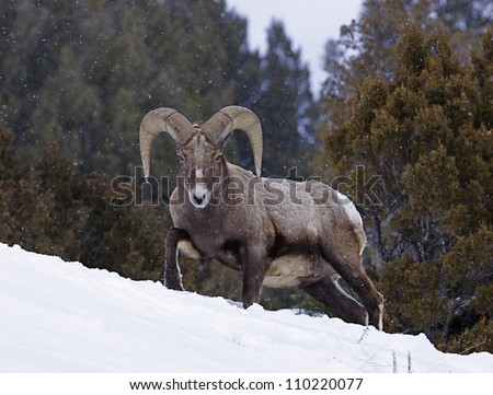 Rocky Mountain Bighorn Sheep Ram walking through deep winter snow with evergreen trees in the background, at Yellowstone National Park, Montana / Wyoming - stock photo