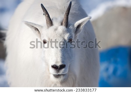 Rocky mountain goat (oreamnos americanus) the mammal found in North America lives highly in mountains - stock photo