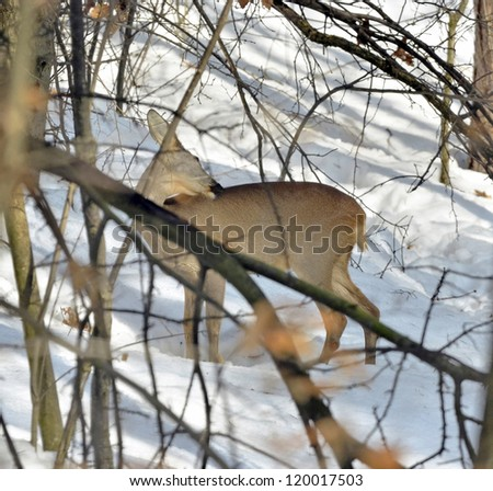Roe behind the branches - stock photo