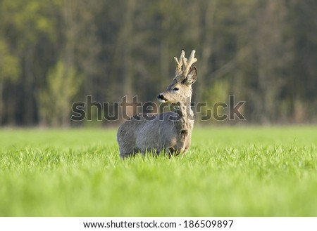 Roe buck in a field - stock photo