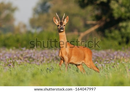 Roe deer buck at sunrise standing on the meadow with flowers, blurred background, Capreolus capreolus - stock photo