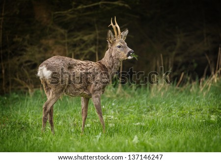 Roe deer buck eating grass in a meadow with dark forest background - stock photo