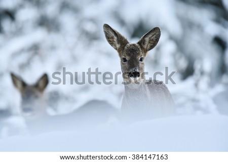 Roe deer (Capreolus capreolus) in winter. Roe deer on snow. European roe deer. Chevreuil. Winter. Cold. Snow. - stock photo