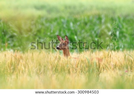 roe deer doe portrait ( Capreolus ) standing in wheat field - stock photo