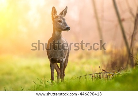 Roe deer in early morning light - stock photo