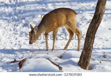 Roe deer in the winter forest in the Far East of Russia - stock photo