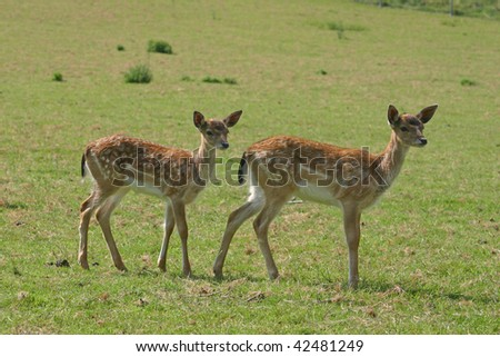 roe deer on a meadow - stock photo