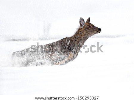 Roe deer running across a snowy field. - stock photo