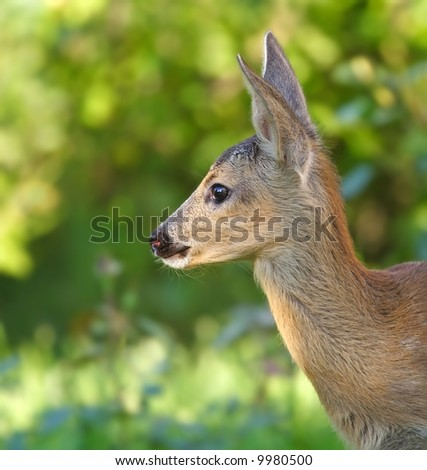 Roe deer. Russian nature, Voronezh area. - stock photo