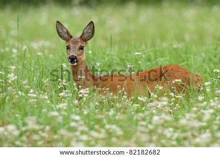 Roe deer standing in buckwheat - stock photo