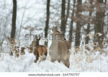 Roe deer with his offspring in winter scenery. - stock photo