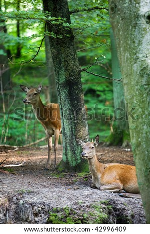 Roe Doe Deer resting in the forest - stock photo
