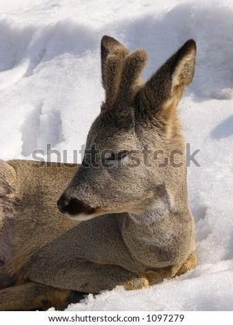 Roe on the snow - stock photo