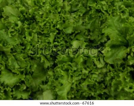 Romaine Lettuce - stock photo