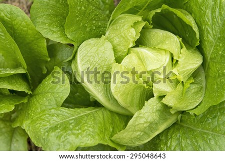 Romaine lettuce , Cos lettuce, green Vegetable texture and background. Healthy food and salad. - stock photo