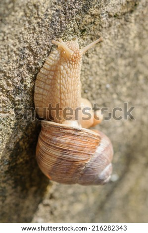 Roman snail (Helix pomatia) climbs on vertical stone wall. Close up with selective focus and shallow DOF. - stock photo