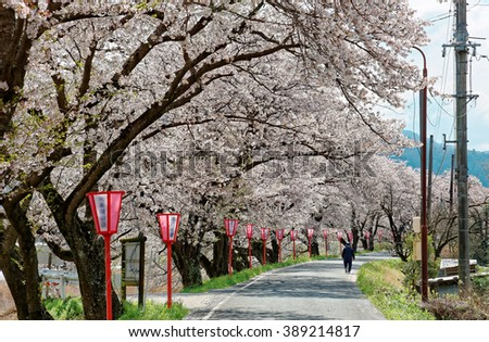 Romantic archway of flourishing cherry blossoms ( Sakura Namiki ) and traditional Japanese lamp posts along a country road in Maniwa, Okayama, Japan - stock photo