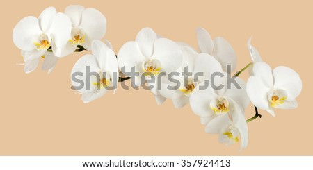 romantic branch of white orchid on beige background, studio shoot - stock photo