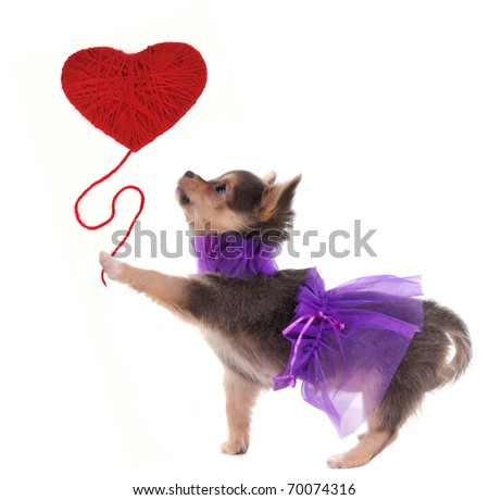 Romantic chihuahua puppy holding red heart like a balloon in her paw - stock photo