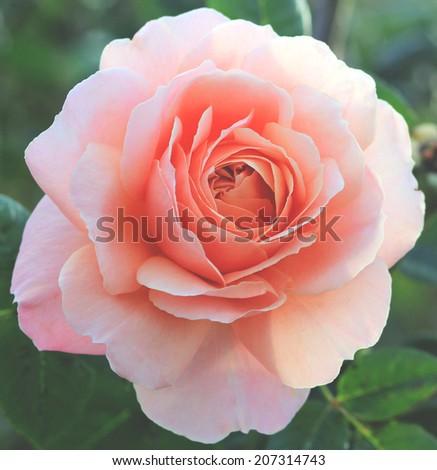 Romantic pink rose - stock photo