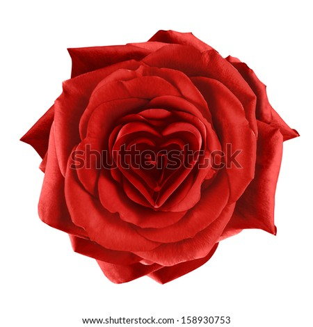 Romantic rose with heart-shaped petals. Isolated on white.  - stock photo