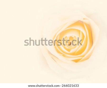 Romantic sweet white yellow rose in soft and blur style for background with blank space for adding text : Antique style white rose in creamy beige tone : Background for mothers day card - stock photo