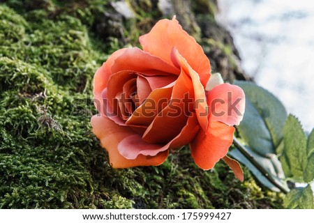 romantic theme - rose on the moss in the forest - stock photo