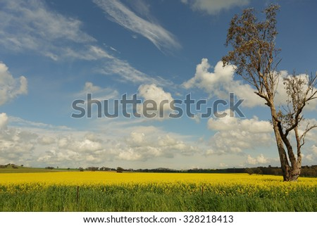 Romeos fields of golden yellow canola flowering in spring with a pretty blue sky and clouds - stock photo