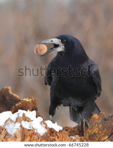 Rook (Corvus Frugilegus) on a snowy log with a nut in the beak 2. - stock photo
