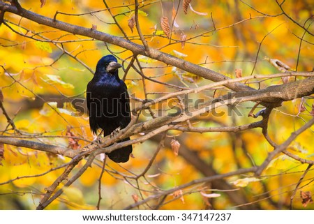 Rook in the park on the tree branch - stock photo