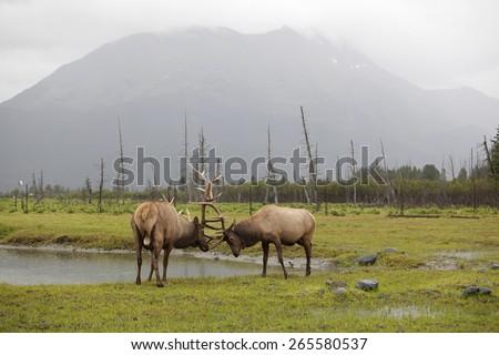 Roosevelt Elks fight, Alaska - stock photo